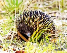 Echidna toon Animals_006.jpg