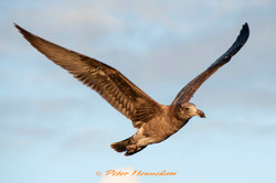 Young Pacific Gull__NOR6052 main