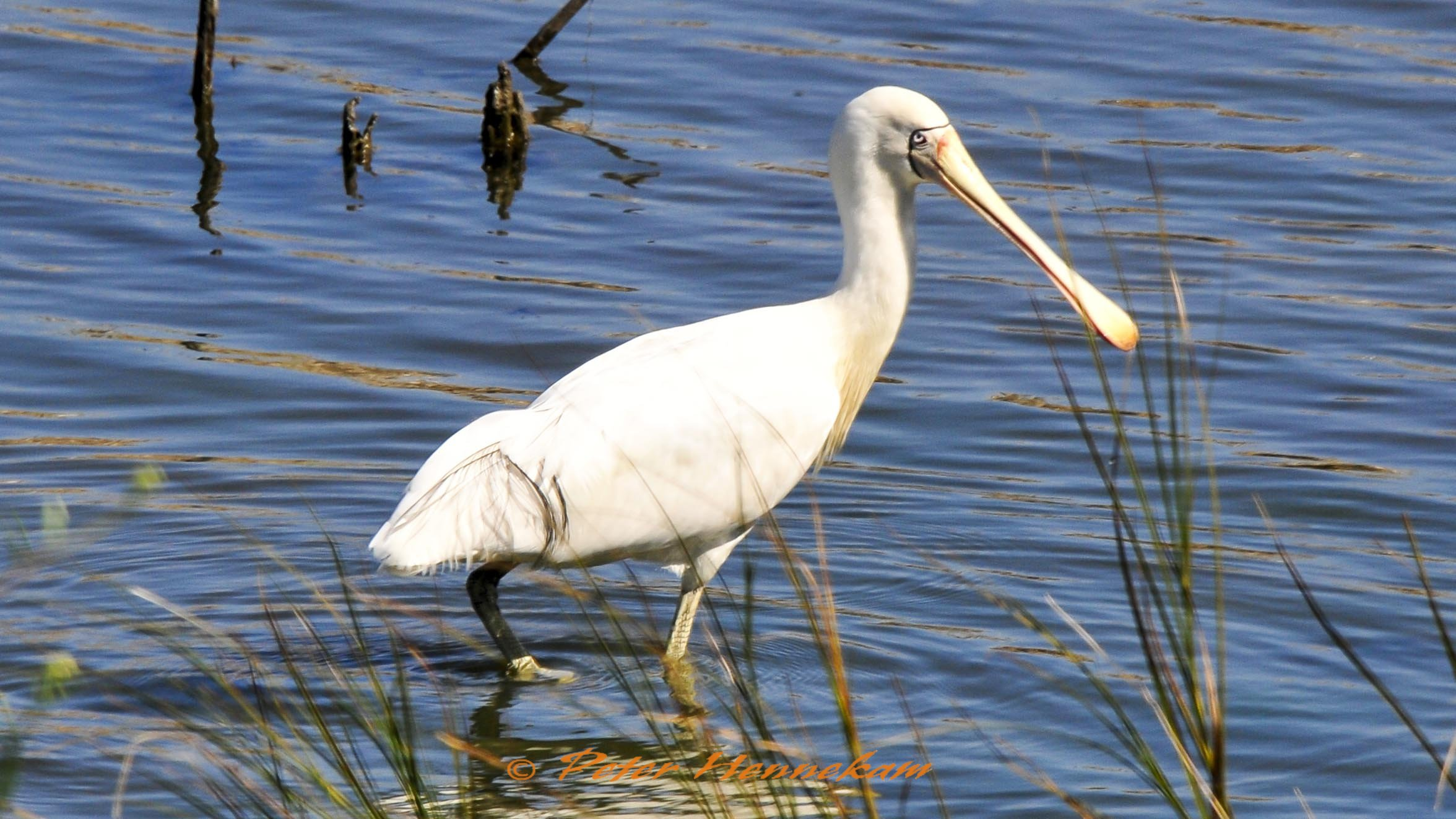 Yellow Billed Spoonbill_BBB5266b