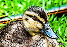 Duck_ABC_3355.jpg