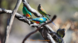 Mulga Parrot_OBK_01459