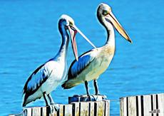 Pelican_HEN7541-1.jpg