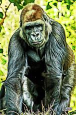Gorilla_DSC_2426.jpg