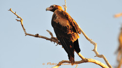 Wedge Tail Eagle_OBK_08031