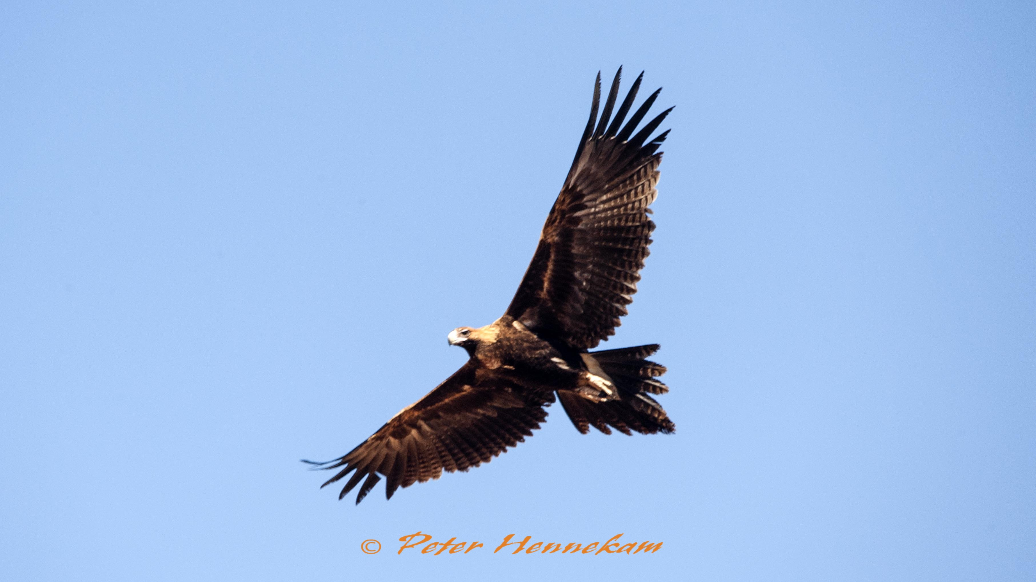Wedge Tail Eagle_ABC0344