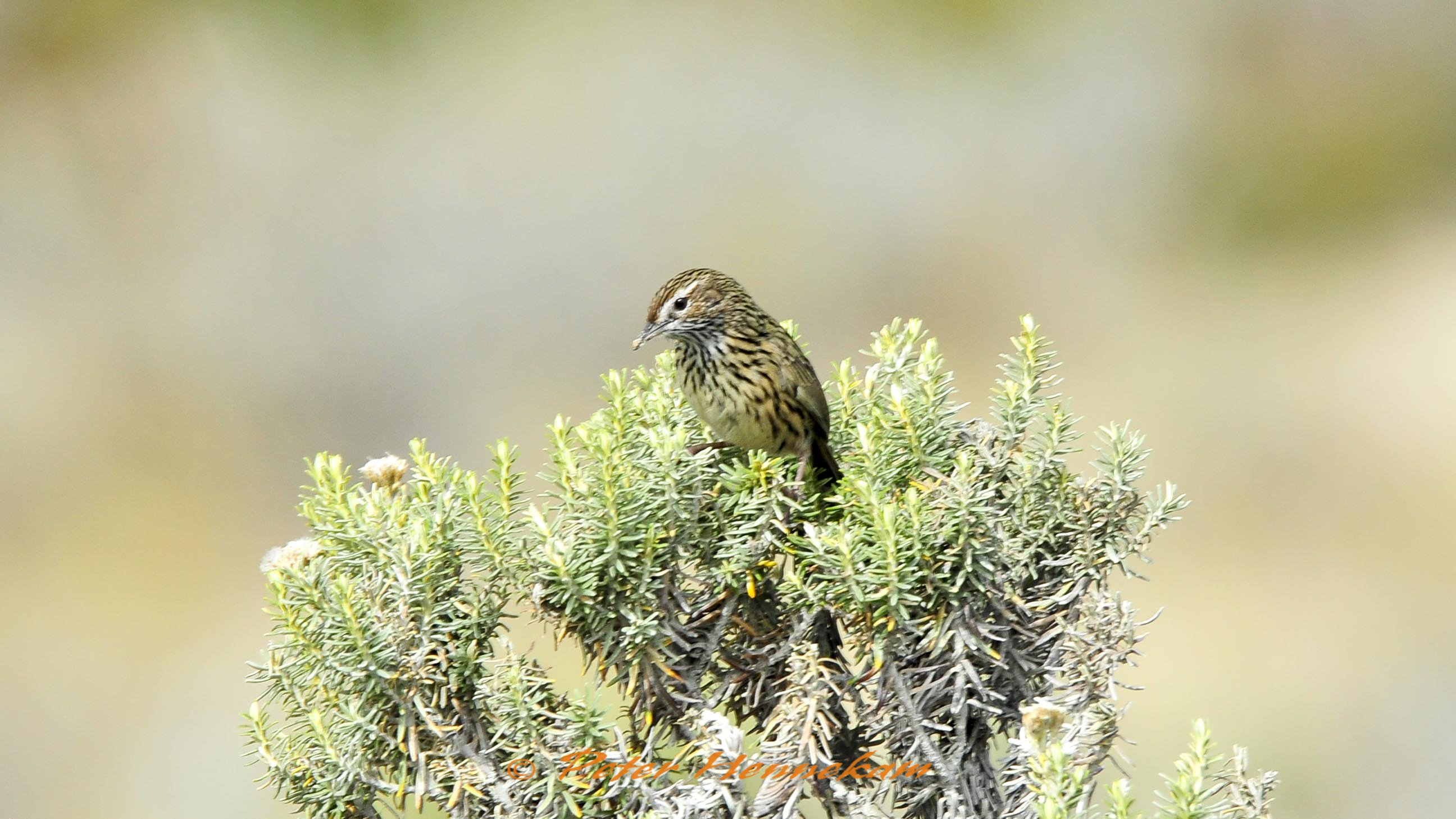 Striated Field Wren_ABC8381