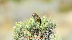 Striated Field Wren_ABC8381
