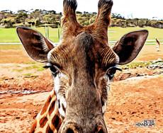 Giraf_Aug_08_ 082_DxOR.jpg