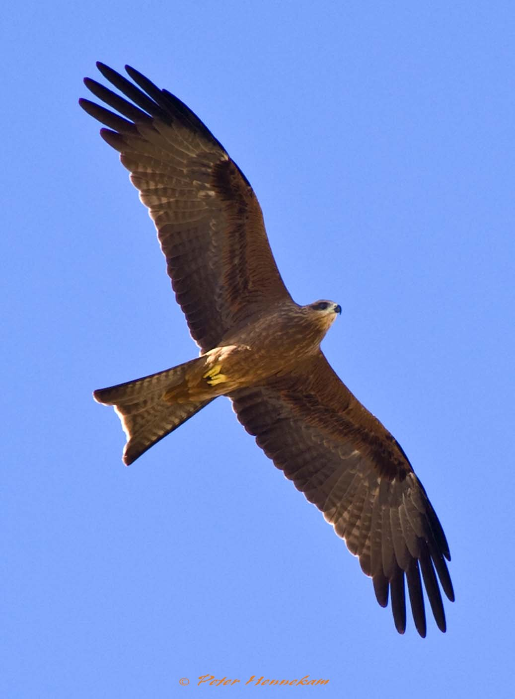 Black Kite_HNP_0796
