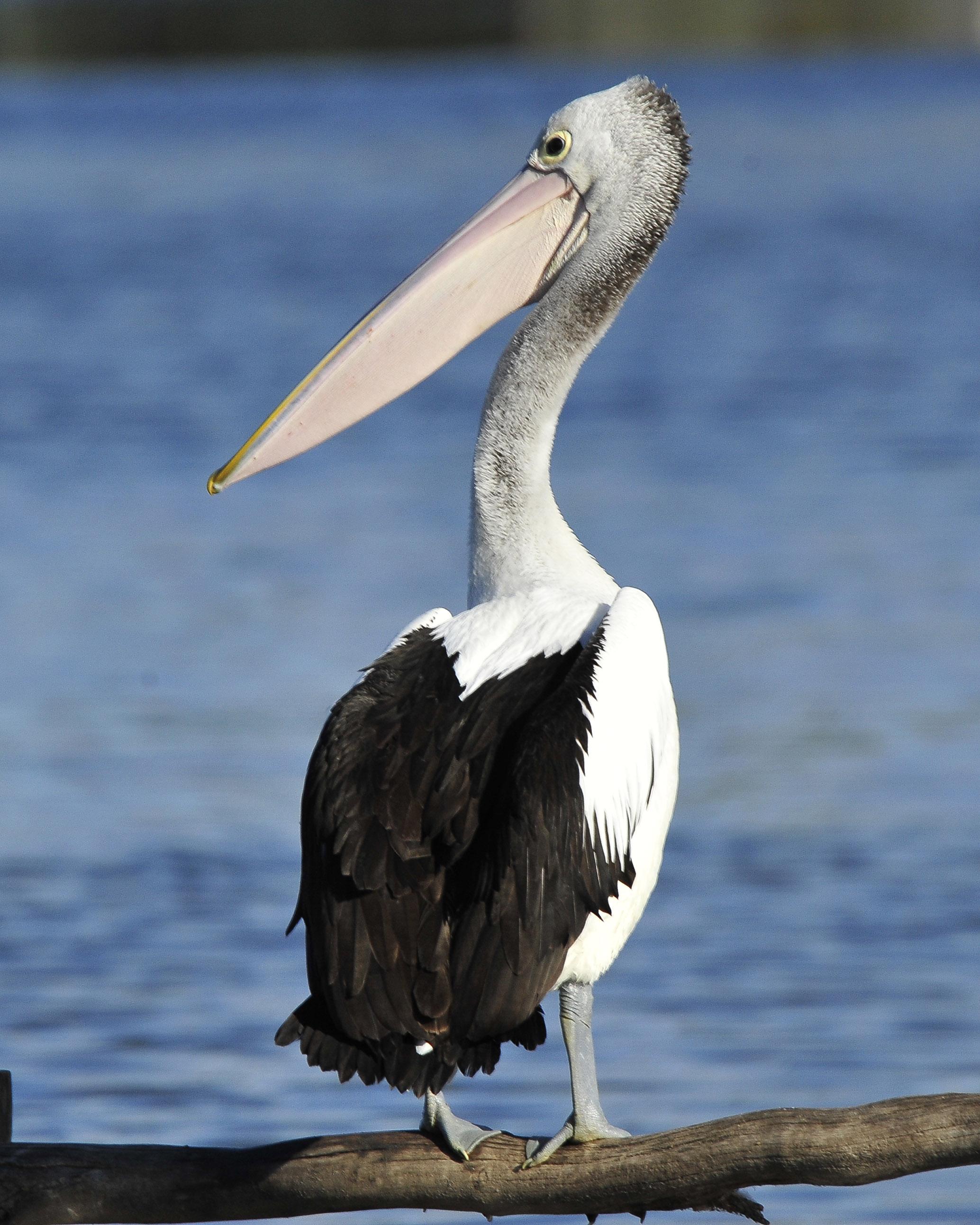 Australian Pelican_ABC4400