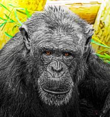 Chimp_NOR7352_2.jpg