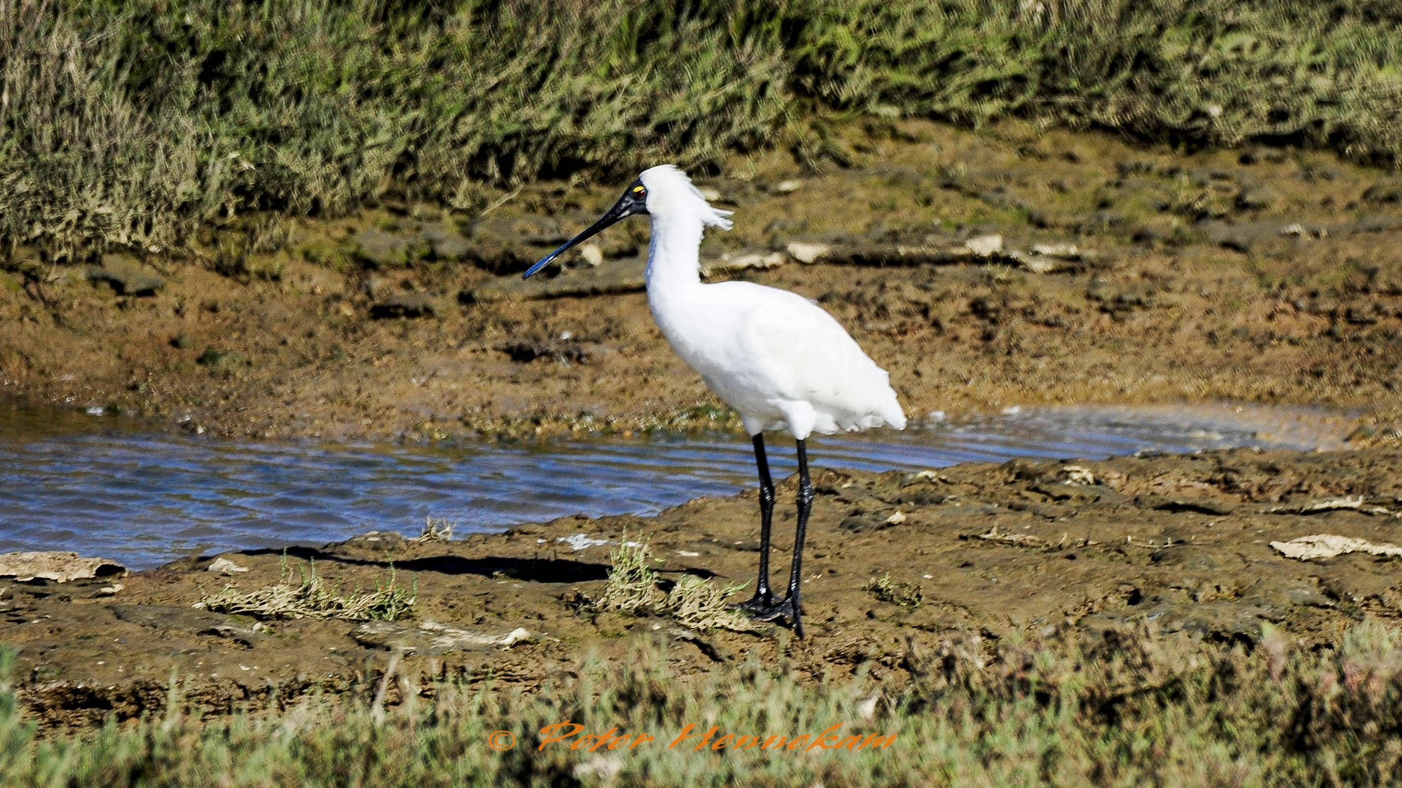 Royal Spoonbill_NML3728