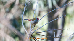 Red Browed Finch_NML0876