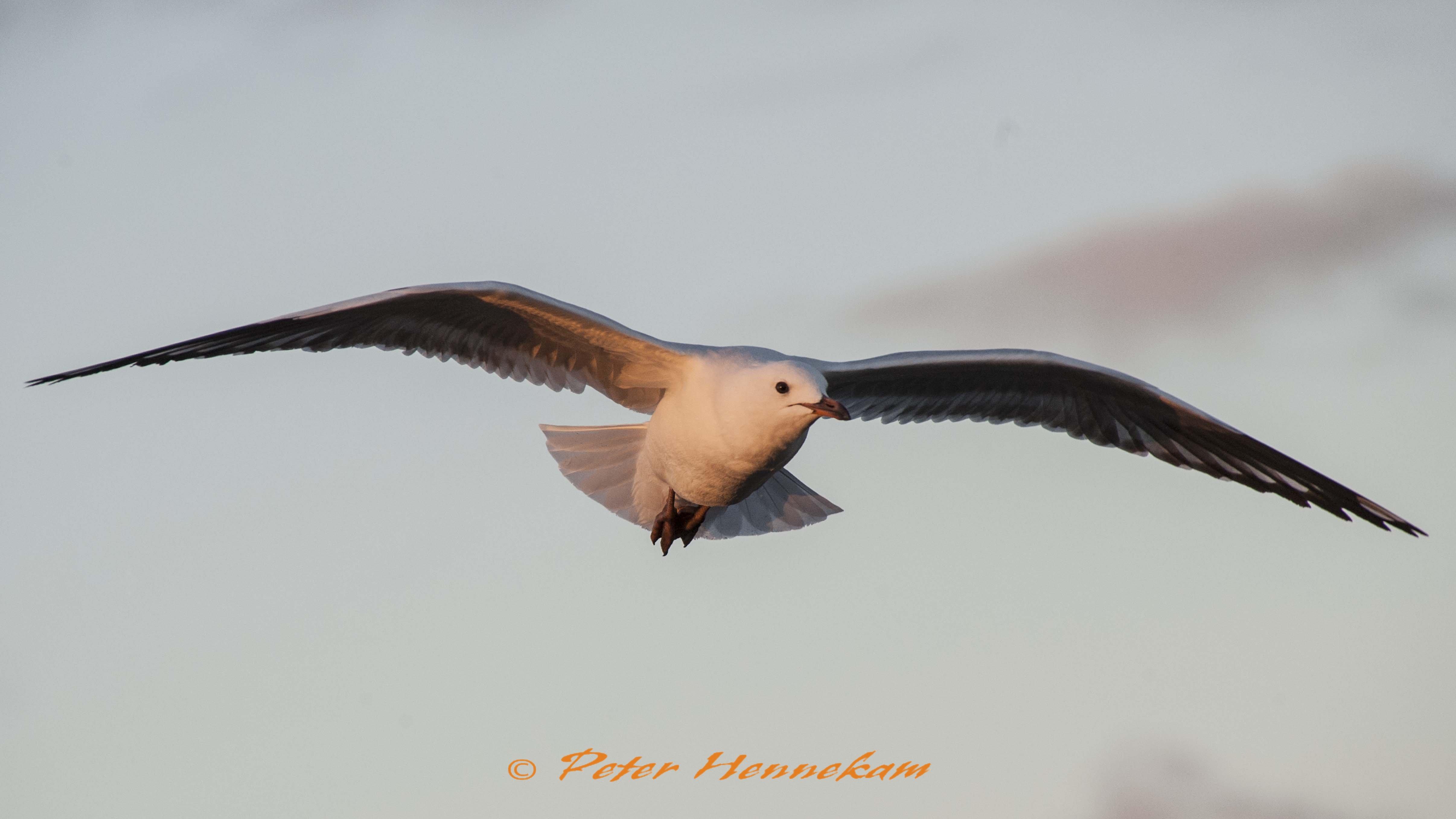 Silver Gull_NOR6078