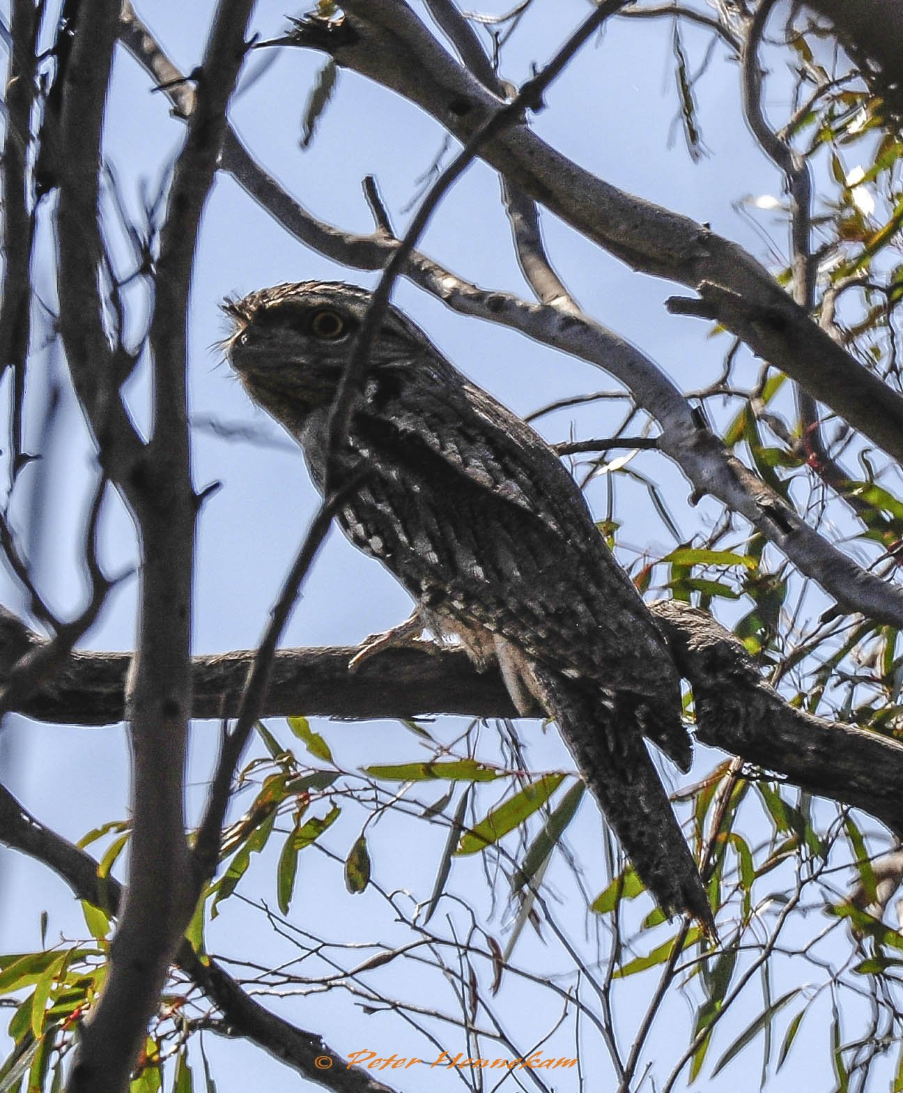 Tawney Frogmouth_NML2621