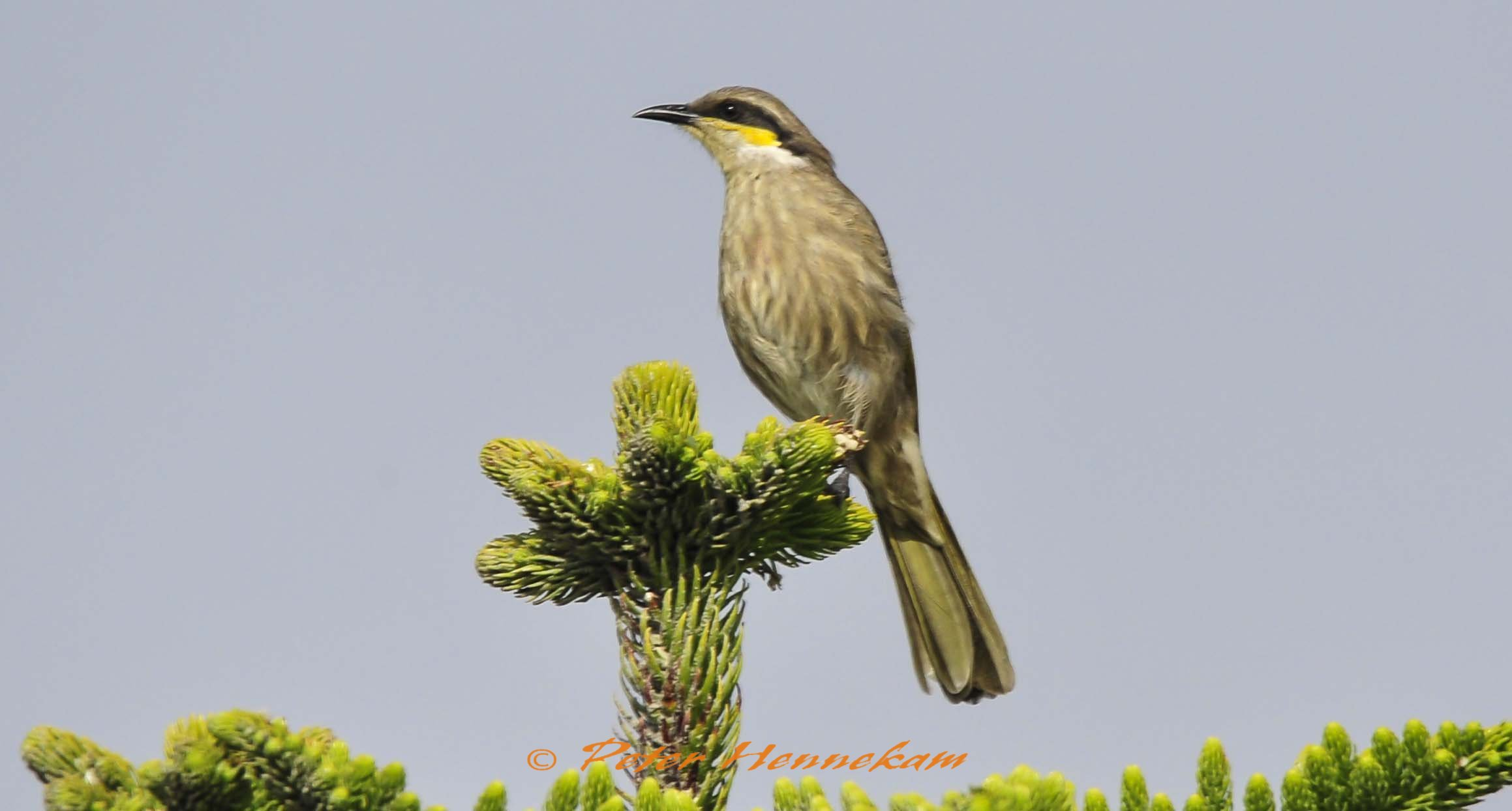 Singing Honeyeater_ABC7205b