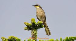 Singing Honeyeater_ABC7205b