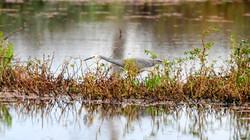 White Faced Heron_ABC4204