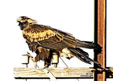 Eagle_HEN8856.jpg