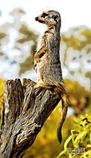 meerkat toon Animals_011a.jpg
