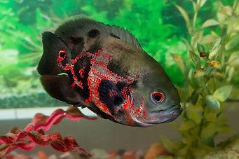 Peixes de aquário despejados em rios estão virando mutantes De2b8c_64b41ab002874f5f80c5d3aea8f19965%7Emv2