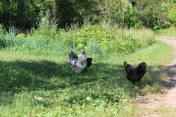 Hens with rooster