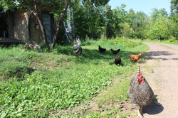 Hens by the outhouse