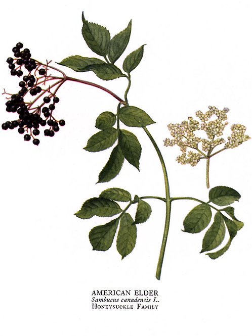 BULK Elderberry Cuttings