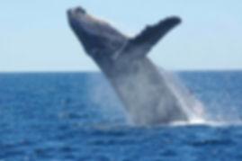 humpback-whale-1945416__340.jpg