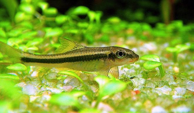 Siamese Algaeeater ( Combo of 2)
