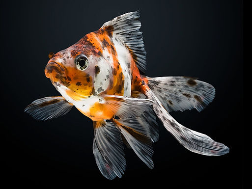 Calico Ruyiken Gold Fish (Imported)