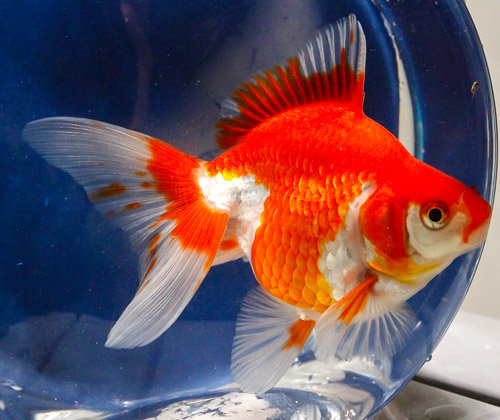 Red & White Ruyken Gold Fish (Imported)