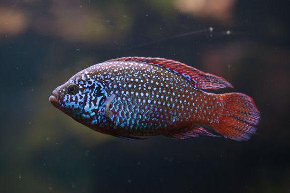 Jewel Fish(Combo Of 2)