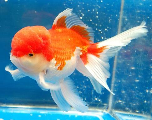 Oranda Red Cap Gold Fish (Imported)