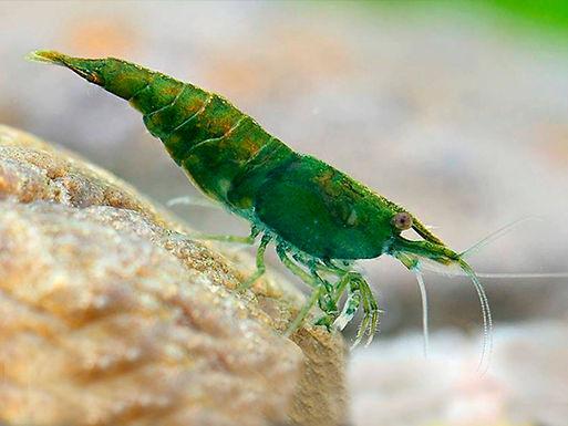 Green Jade Shrimp ( Combo Of 2 )