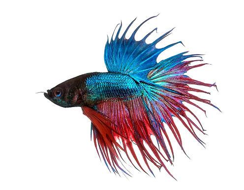 Blue Crown Tail Fighter Betta Fish