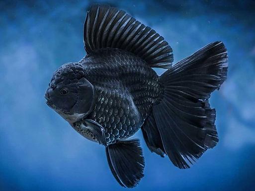 Black Oranda Gold Fish (Imported)