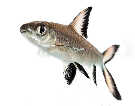 Bala Shark Fish