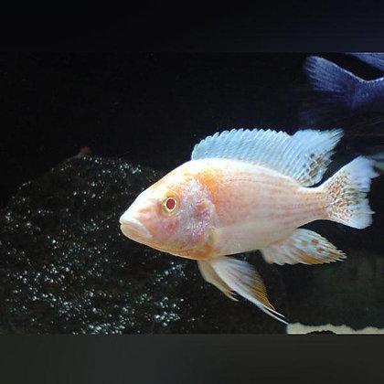 Albhino Peacock Cichild(Combo Of 2)