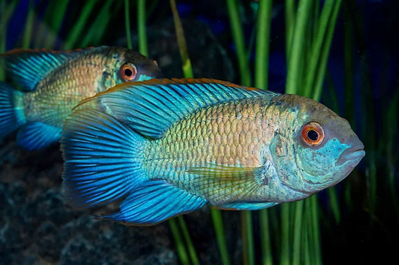 Blue Neon Acara Fish(Combo Of 2)