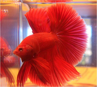 Blood Red Betta