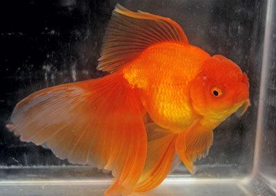Red Oranda Gold Fish (Imported)