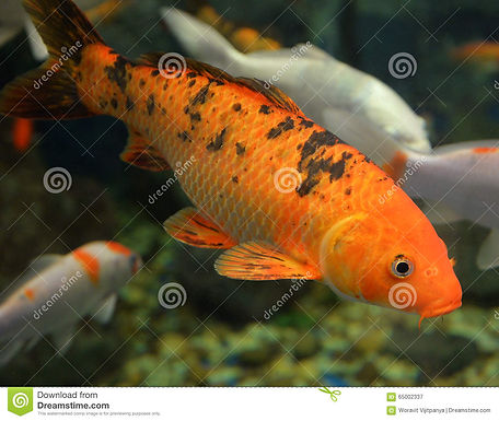 Japanese Koi & Local Koi Fish
