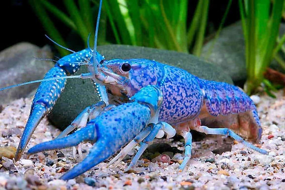 Blue Lobster(Combo Of 2)