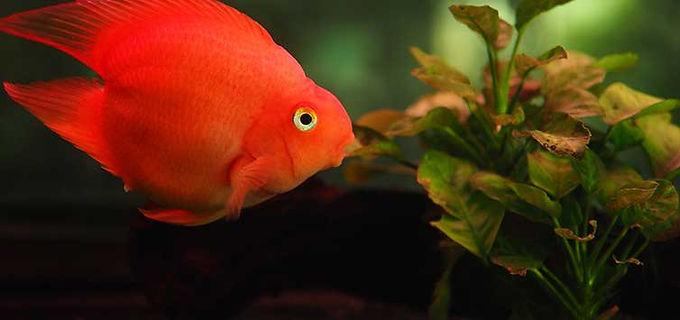 Heart Shaped Parrot Fish