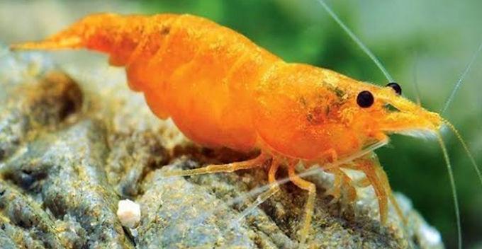 Orange Shrimp