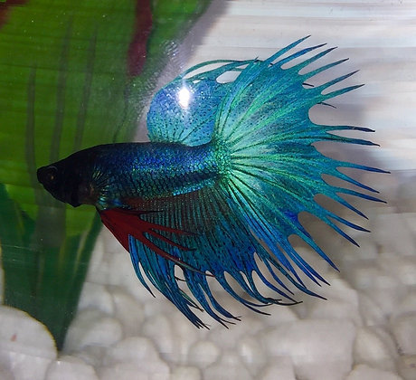 Green Crown Tail Betta Fish