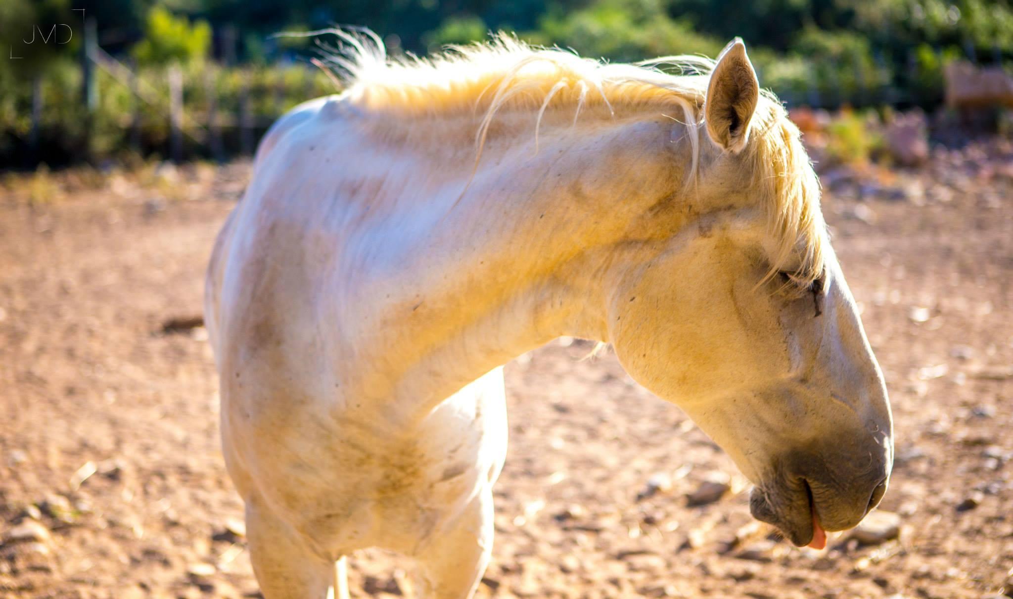 Horse, Montpellier