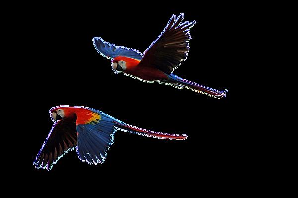 parrots-2683451_1280.png