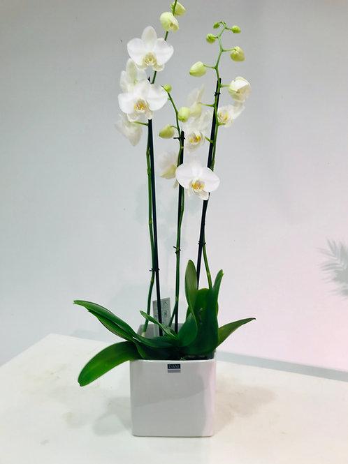 Orchidee (3 takken) in kwalitatieve pot D&M Depot